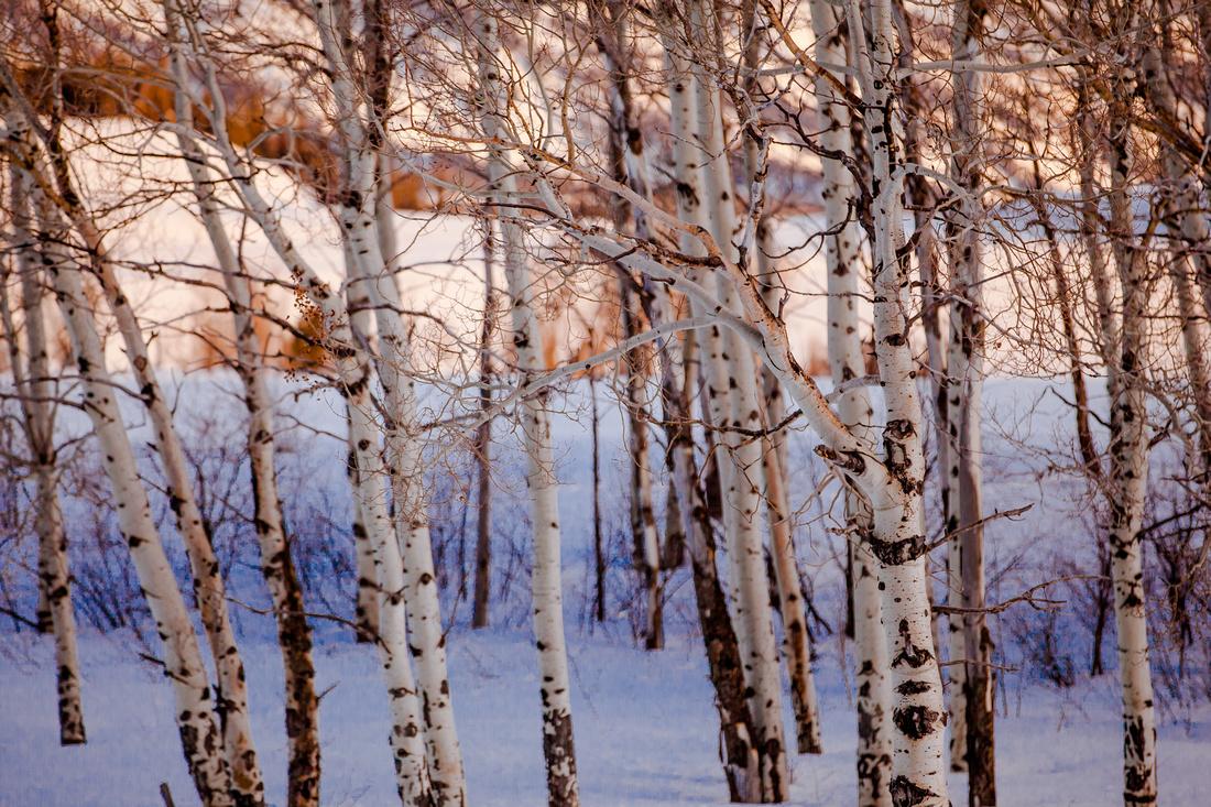 aspen trees in the snow