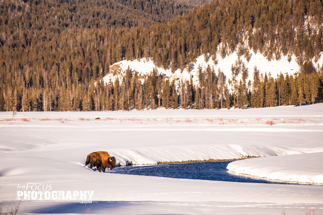 buffalo in the water yellowston wyoming